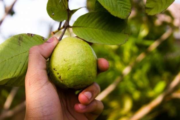 अमरूद खाने के फायदे और नुकसान – Guava/ amrud Khane ke Fayde aur Nuksan in Hindi