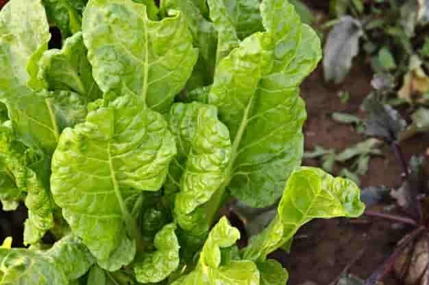 पालक खाने के फायदे और नुकसान – Palak Khane Ke Fayde Aur Nuksan - Spinach Benefits and Side Effects in Hindi,
